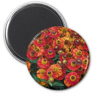 Imã Flores vermelhas e alaranjadas do helenium