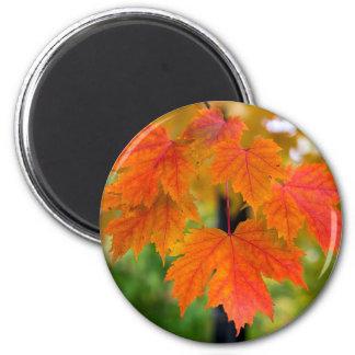 Imã Folhas da árvore de bordo no close up da cor da