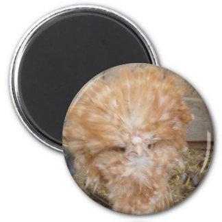Ímã - galinha polonesa ima