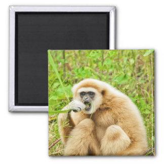 Imã Gibbon - ímã