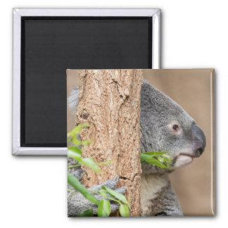 Imã Headshot do Koala