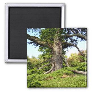 Imã Ímã da árvore de Cedro--Líbano
