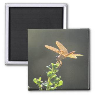 Imã Ímã da foto da libélula de Amberwing do mexicano