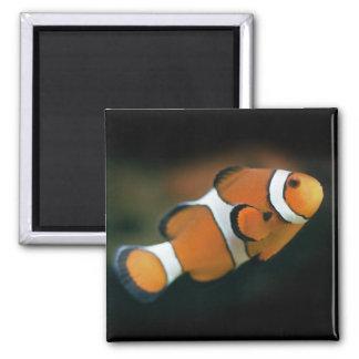 Imã Ímã de Nemo