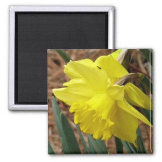 Imã Ímã do daffodil da primavera