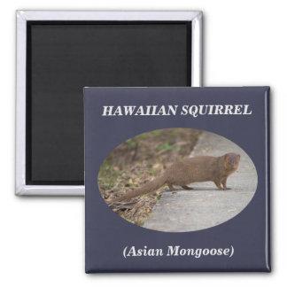 Imã Ímã quadrado havaiano do esquilo (mangusto