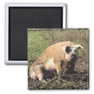 Imã Ímã - Sheila meu porco gordo grande