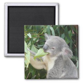 Imã Koala que come a folha da goma