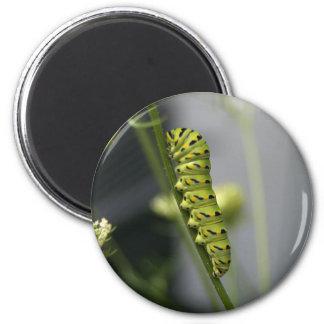 Imã Lagarta preta do swallowtail (parsleyworm) em Dil