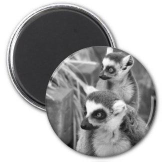 Imã lemur Anel-atado com o bebê preto e branco