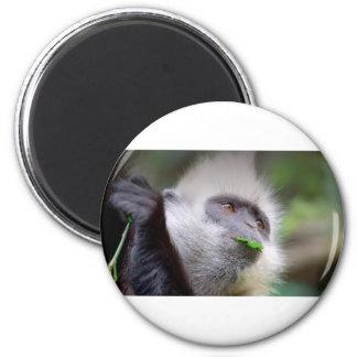 Imã Macaco africano