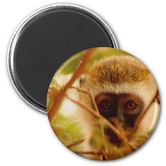 Imã Macaco insolente