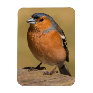 Ímã masculino da foto do Chaffinch