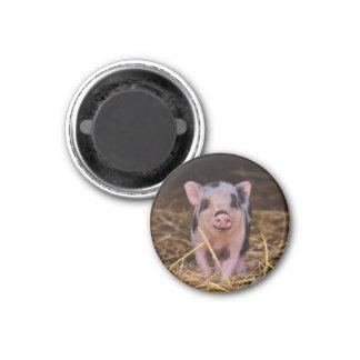 Imã mini porco