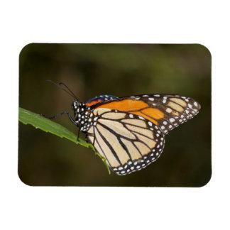 Ímã Monarca empoleirado em uma folha