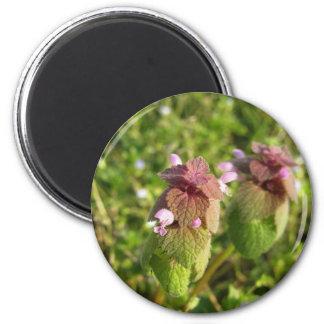 Imã Morto-provocação roxa (purpureum do Lamium) no