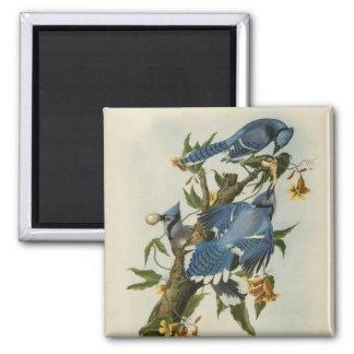 Imã O Blue Jays de Audubon