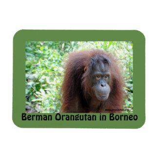 Ímã Orangotango de Berman em Bornéu OFI