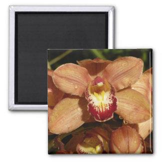 Imã Orquídeas do pêssego com o floral bonito dos