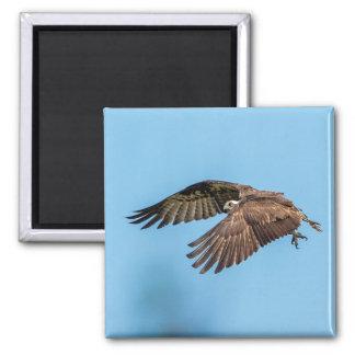 Imã Osprey em vôo no parque estadual da ilha da lua de