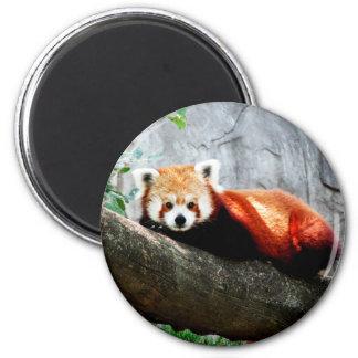 Imã panda vermelha animal engraçada bonito