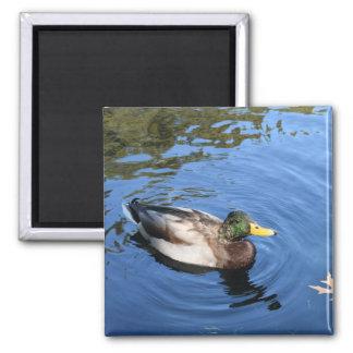 Imã Pato conservador do pato selvagem da água do