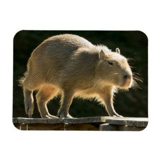 Ímã pequeno do Capybara