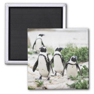 Imã Pinguins na praia
