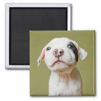 Imã Pitbull com o olho manchado preto
