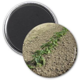Imã Plantas frescas da manjericão que crescem no campo