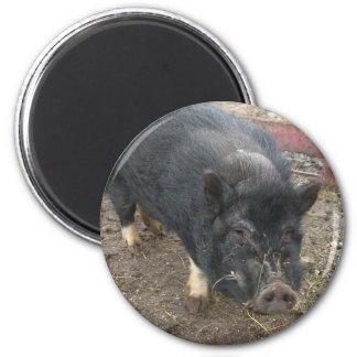 Imã Porco diminuto preto 43a