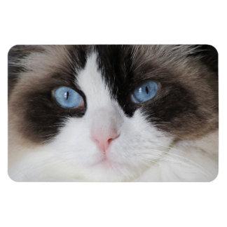 Ímã Querido de olhos azuis do gato