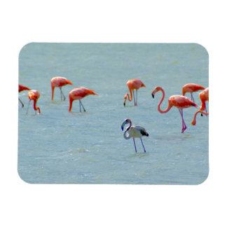 Ímã Rebanho cinzento e cor-de-rosa dos flamingos no
