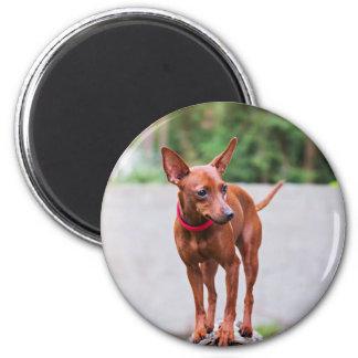 Imã Retrato do cão vermelho do pinscher diminuto