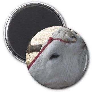 Imã Retrato do Chianina, raça italiana do gado