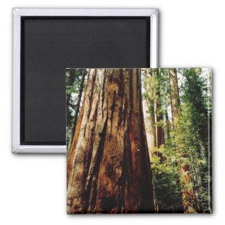 Imã Sequóias vermelhas Yosemite