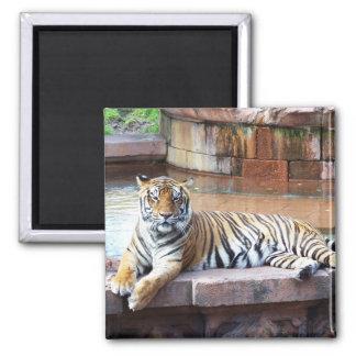 Imã Tigre