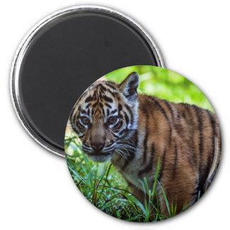 Imã Tigre Cub de Sumatran dos alugueres
