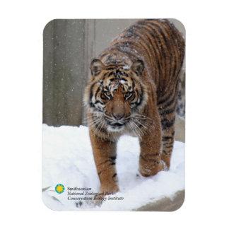 Ímã Tigre Damai de Smithsonian | Sumatran