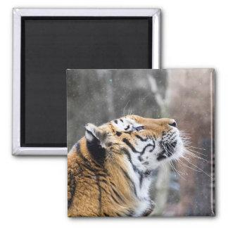 Imã Tigre Wistful do inverno