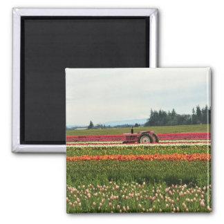 Imã Trator cor-de-rosa no campo da tulipa