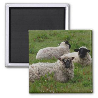 Imã Três carneiros