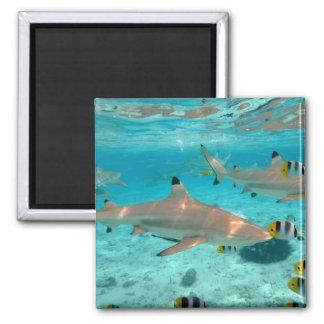 Imã Tubarões no ímã da lagoa de Bora Bora