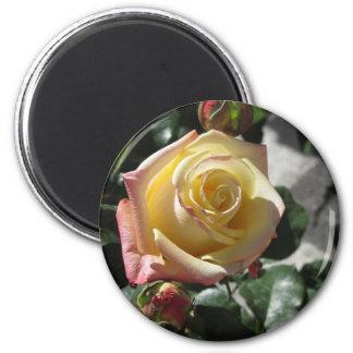 Imã Única flor do rosa amarelo no primavera