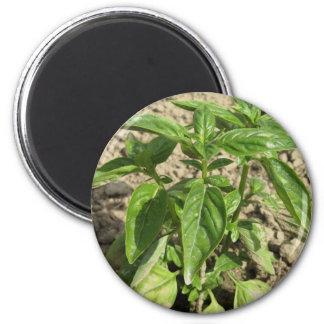 Imã Única planta fresca da manjericão que cresce no