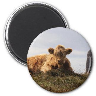 Imã Vaca de Luing na ilha de Islay, Scotland