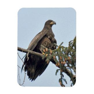 Ímã Varas (imaturas) da águia americana na parte