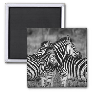 Imã Zebras