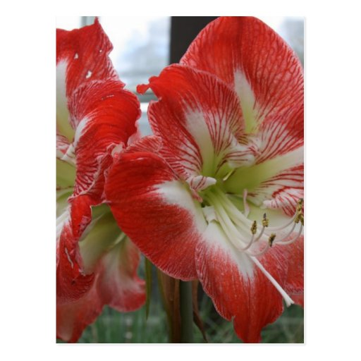 imagem da flor do lírio vermelho e branco cartao postal