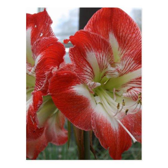 imagem da flor do lírio vermelho e branco cartão postal